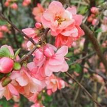 ambiance-rose-du-japon
