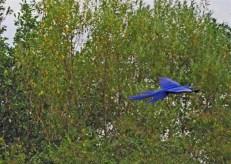 Ara bleu